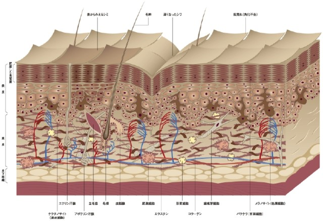 秋って「肌の内部はどうなっているの?!」