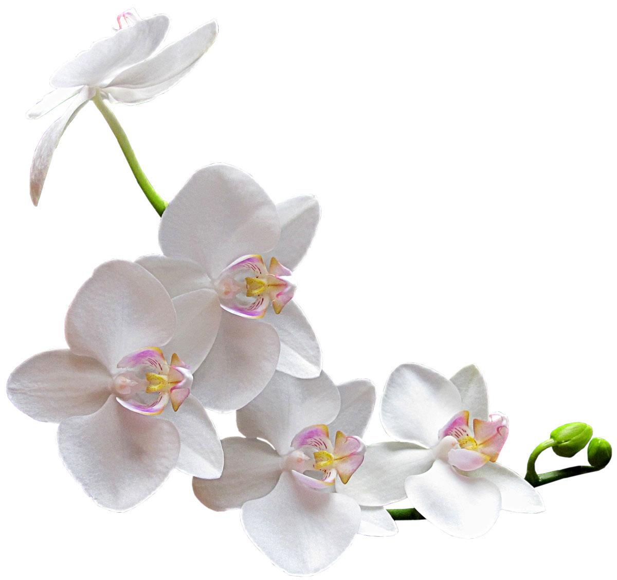 胡蝶蘭と【女性の肌】は似てる?